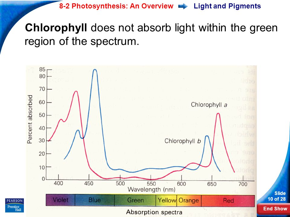 End Show Slide 10 of 28 8-2 Photosynthesis: An Overview Copyright Pearson Prentice Hall Light and Pigments Chlorophyll does not absorb light within the green region of the spectrum.