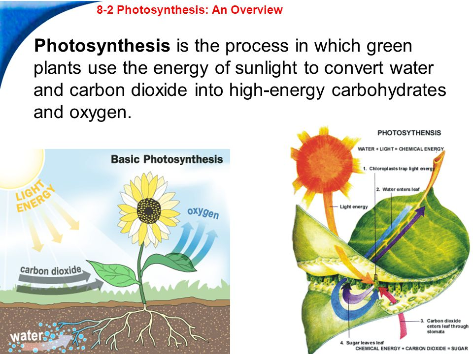 End Show Slide 13 of 28 Copyright Pearson Prentice Hall 8-2 In van Helmont s experiment, most of the added mass of the tree came from a.soil and carbon dioxide.