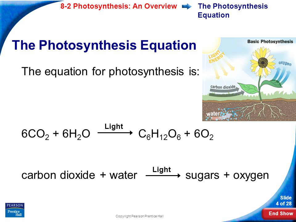 End Show Slide 4 of 28 8-2 Photosynthesis: An Overview Copyright Pearson Prentice Hall The Photosynthesis Equation The equation for photosynthesis is: 6CO 2 + 6H 2 O C 6 H 12 O 6 + 6O 2 carbon dioxide + water sugars + oxygen Light