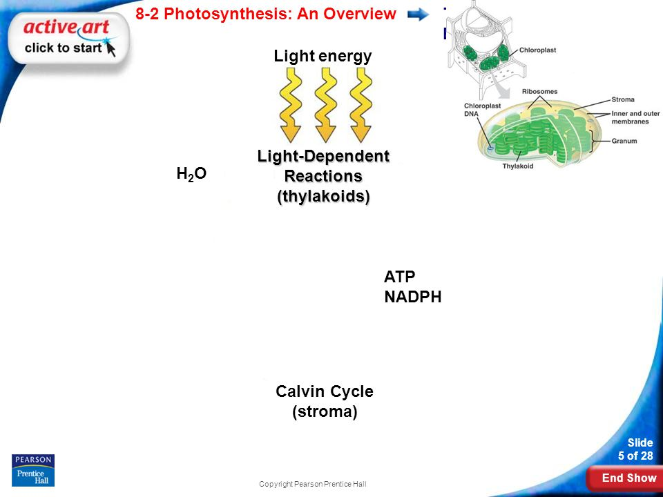 End Show Slide 5 of 28 8-2 Photosynthesis: An Overview Copyright Pearson Prentice Hall The Photosynthesis Equation O2O2 CO 2 + H 2 0 Sugar ADP NADP + Light-Dependent Reactions (thylakoids) H2OH2O ATP NADPH Calvin Cycle (stroma) Light energy