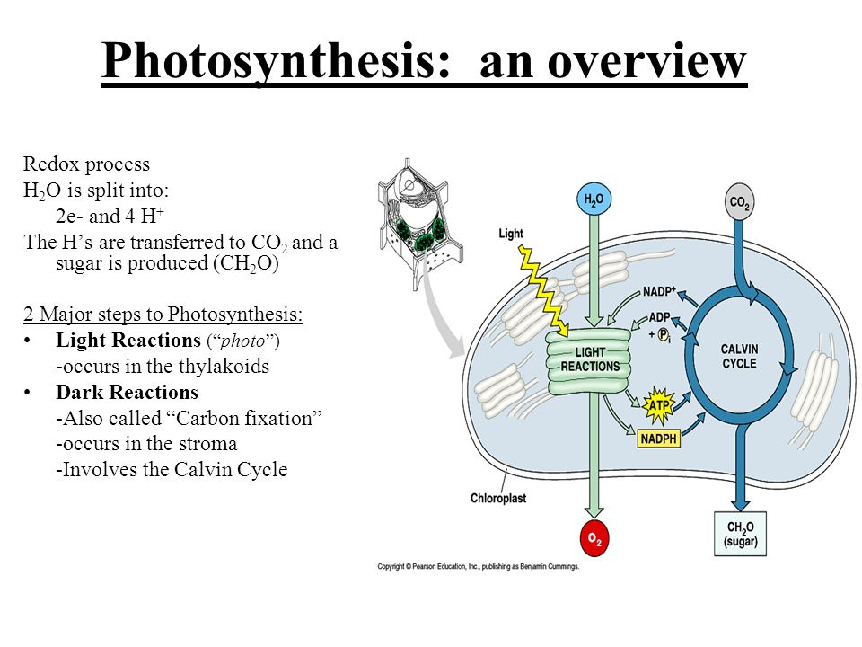 Photosynthesis: an overview Redox process H 2 O is split into: 2e- and 4 H + The H's are transferred to CO 2 and a sugar is produced (CH 2 O) 2 Major