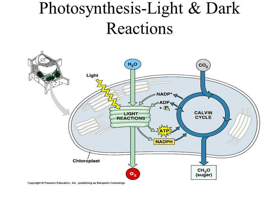 Photosynthesis-Light & Dark Reactions