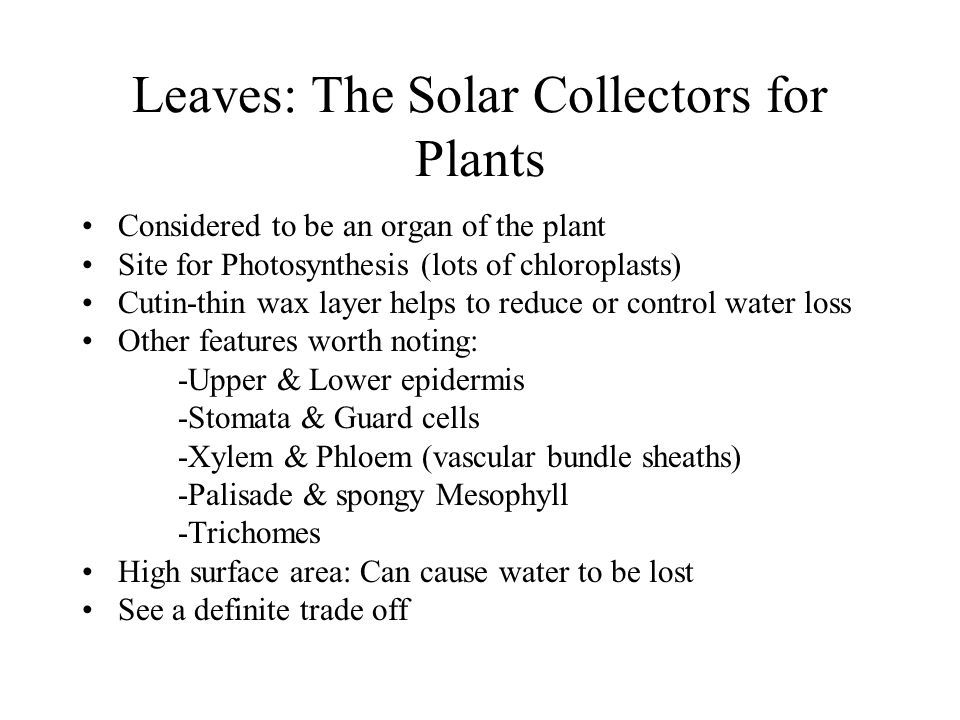 Leaves: The Solar Collectors for Plants Considered to be an organ of the plant Site for Photosynthesis (lots of chloroplasts) Cutin-thin wax layer hel