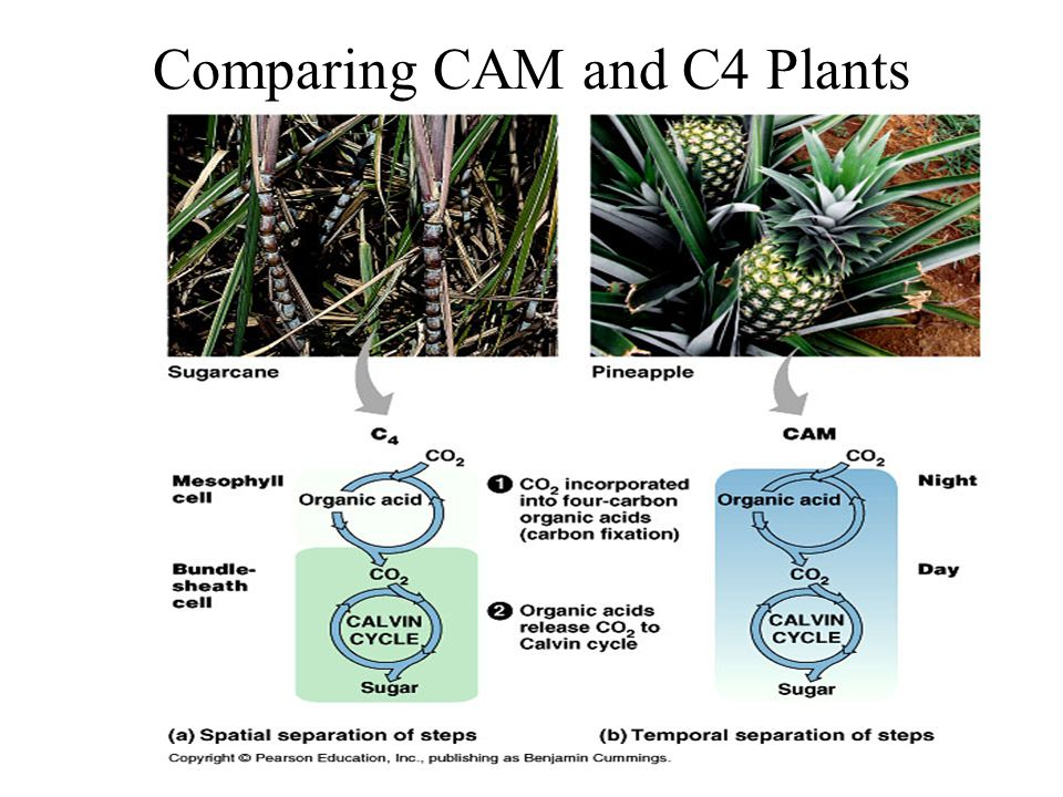 Comparing CAM and C4 Plants