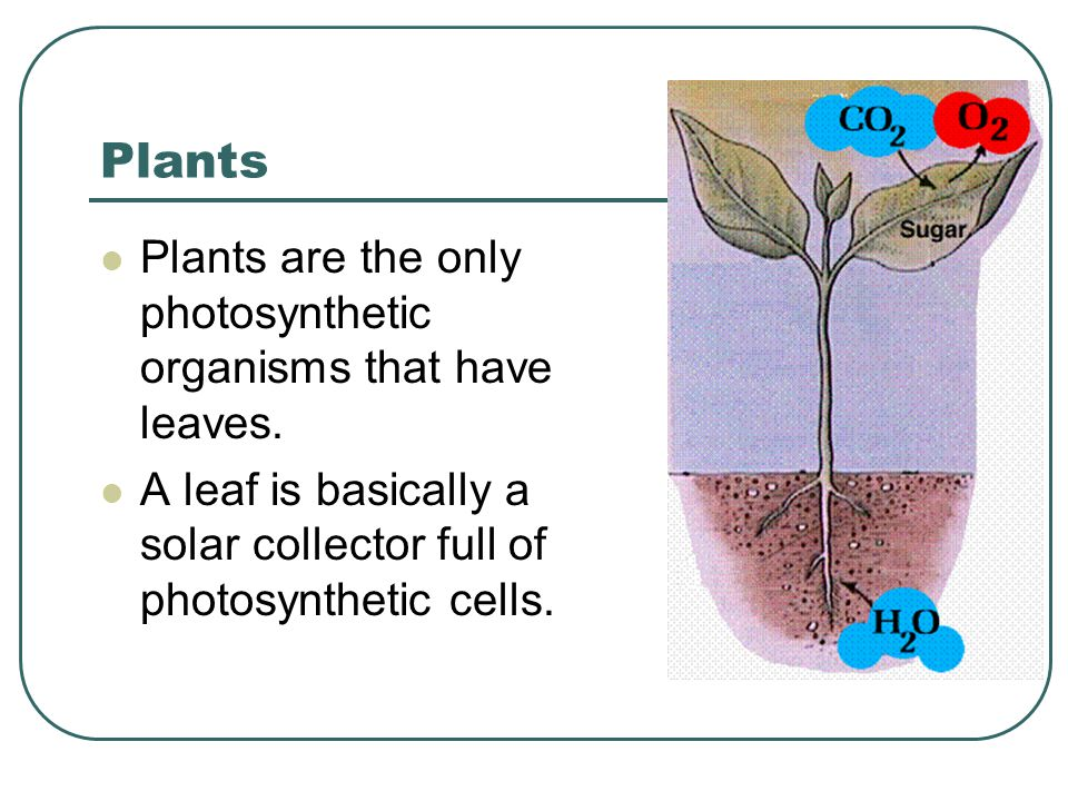 Leaves Water enters the root and is transported up to the leaves through specialized plant cells known as xylem.