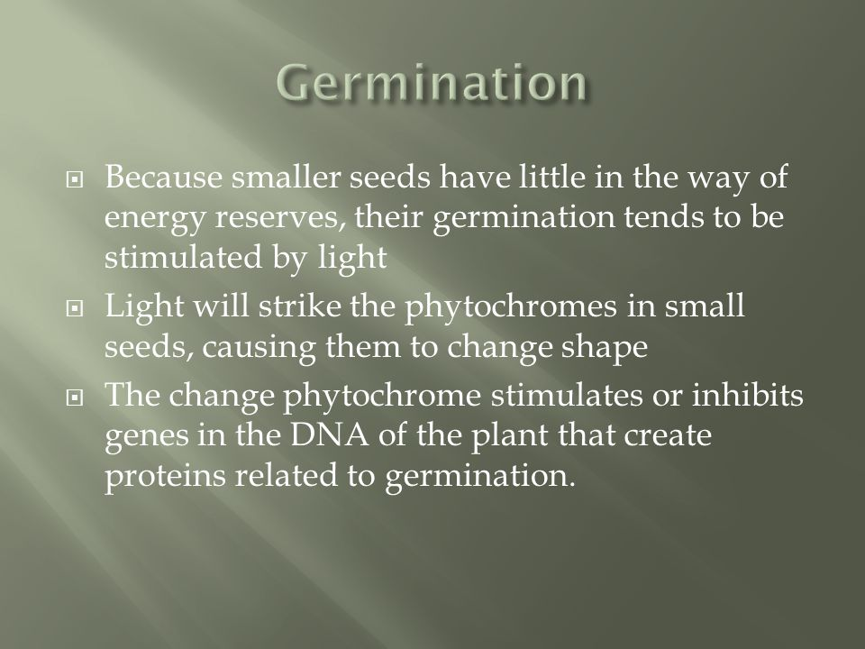  Because smaller seeds have little in the way of energy reserves, their germination tends to be stimulated by light  Light will strike the phytochromes in small seeds, causing them to change shape  The change phytochrome stimulates or inhibits genes in the DNA of the plant that create proteins related to germination.
