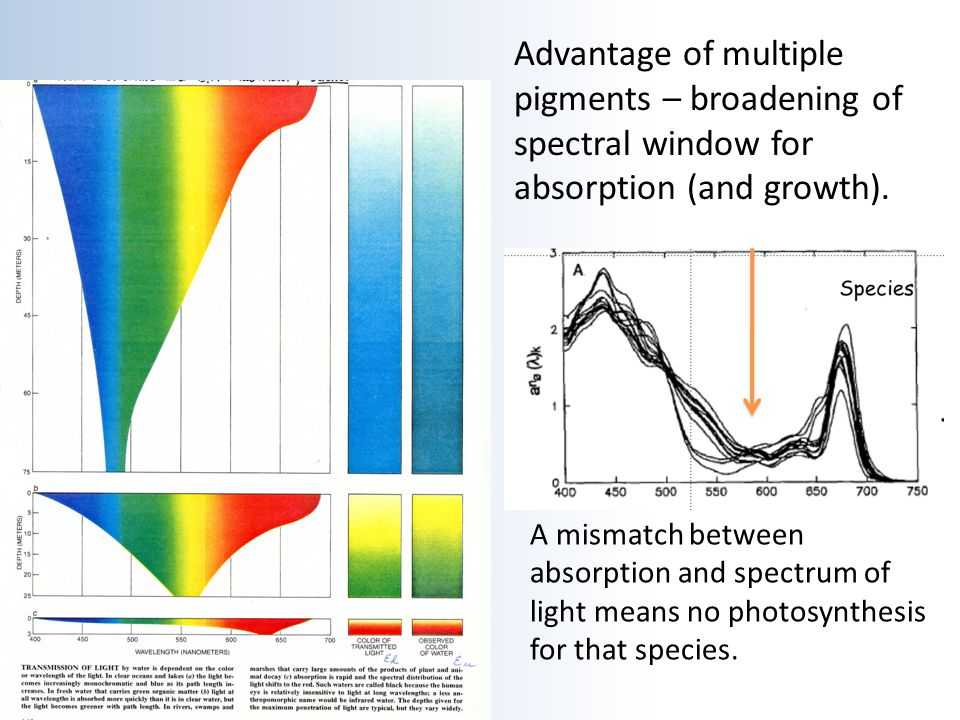 Advantage of multiple pigments – broadening of spectral window for absorption (and growth). A mismatch between absorption and spectrum of light means