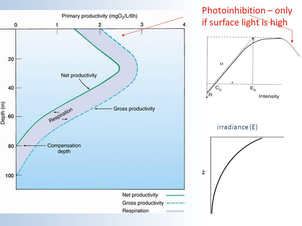 irradiance (E) z Photoinhibition – only if surface light is high
