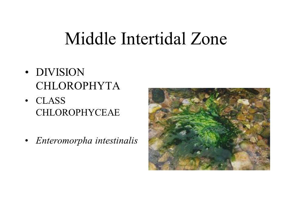 Middle Intertidal Zone DIVISION CHLOROPHYTA CLASS CHLOROPHYCEAE Enteromorpha intestinalis