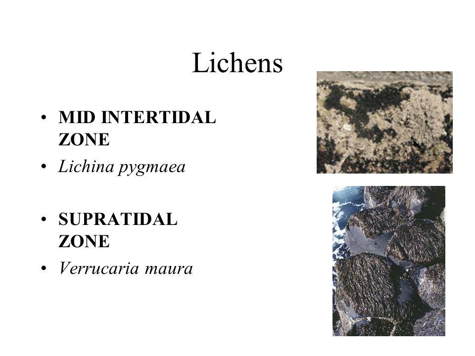 Lichens MID INTERTIDAL ZONE Lichina pygmaea SUPRATIDAL ZONE Verrucaria maura