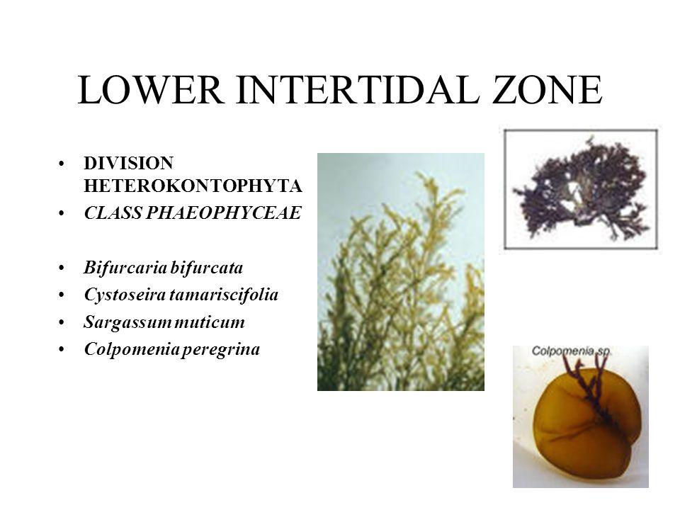 LOWER INTERTIDAL ZONE DIVISION HETEROKONTOPHYTA CLASS PHAEOPHYCEAE Bifurcaria bifurcata Cystoseira tamariscifolia Sargassum muticum Colpomenia peregri