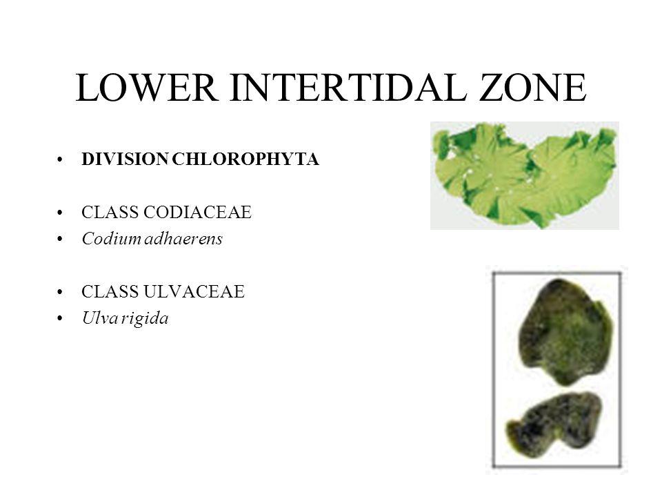 LOWER INTERTIDAL ZONE DIVISION CHLOROPHYTA CLASS CODIACEAE Codium adhaerens CLASS ULVACEAE Ulva rigida