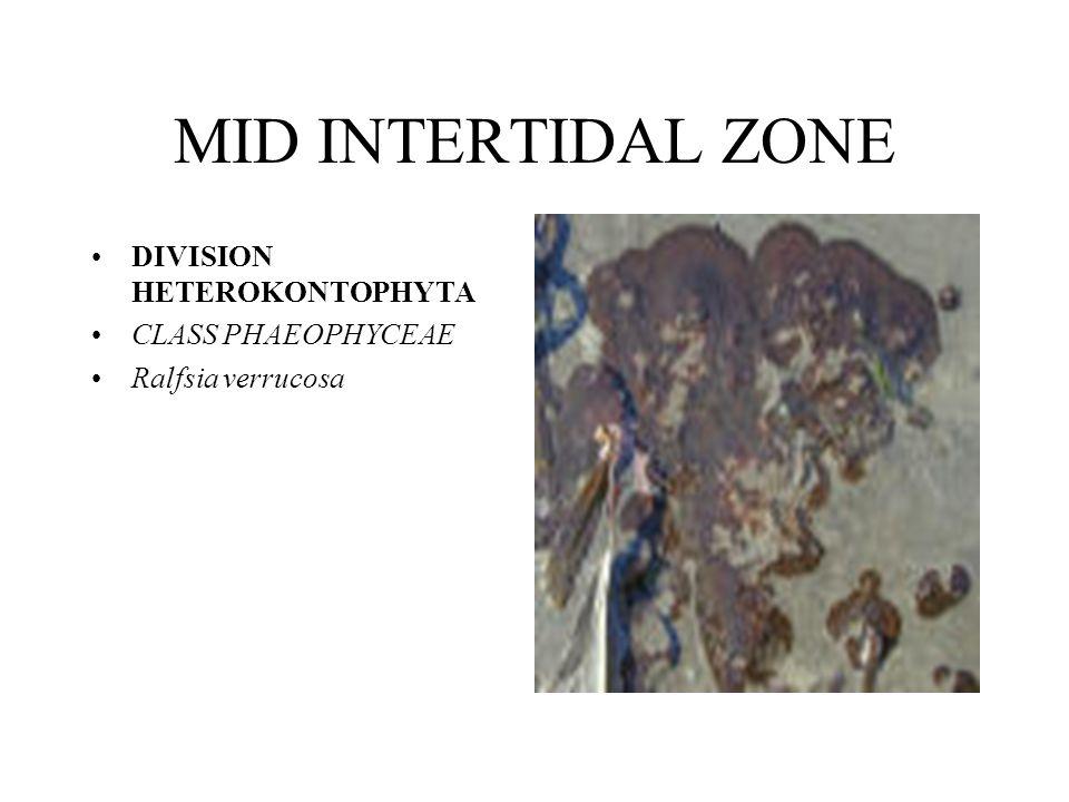 MID INTERTIDAL ZONE DIVISION HETEROKONTOPHYTA CLASS PHAEOPHYCEAE Ralfsia verrucosa