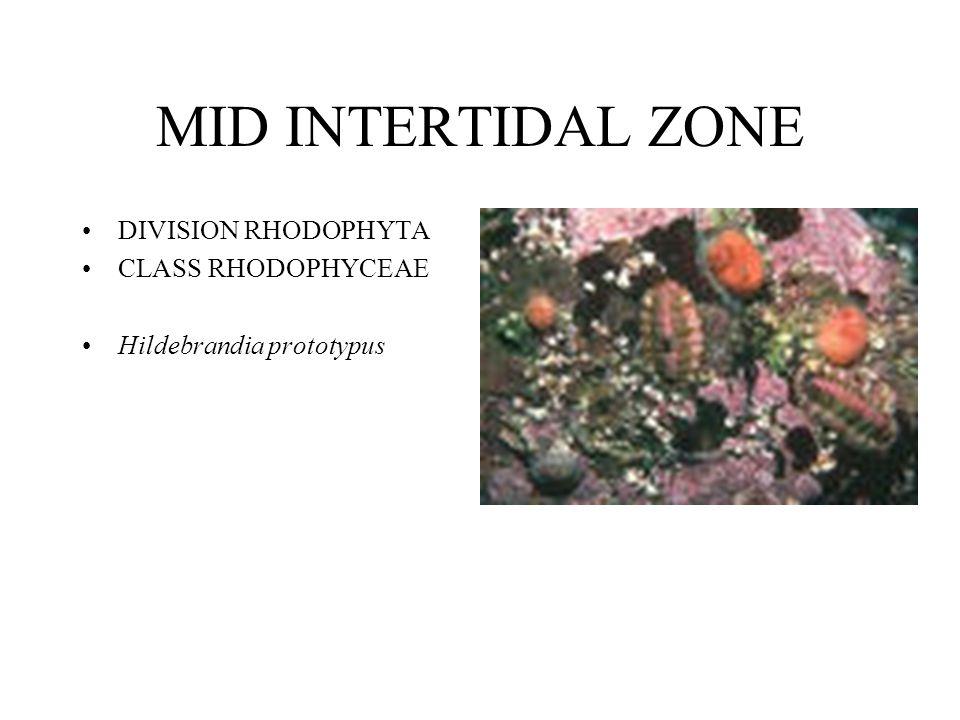 MID INTERTIDAL ZONE DIVISION RHODOPHYTA CLASS RHODOPHYCEAE Hildebrandia prototypus