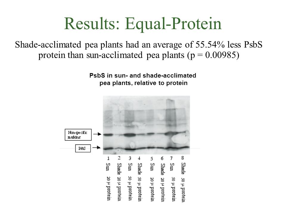 Results: Equal-Protein Shade-acclimated pea plants had an average of 55.54% less PsbS protein than sun-acclimated pea plants (p = 0.00985) PsbS in sun- and shade-acclimated pea plants, relative to protein