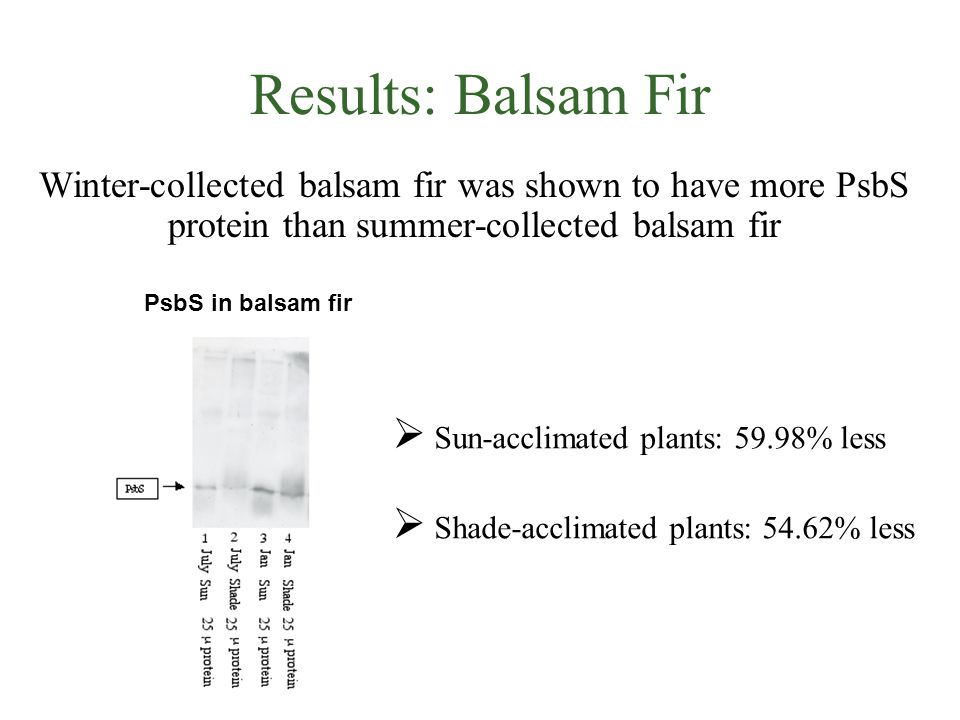 Results: Balsam Fir Winter-collected balsam fir was shown to have more PsbS protein than summer-collected balsam fir PsbS in balsam fir  Sun-acclimated plants: 59.98% less  Shade-acclimated plants: 54.62% less