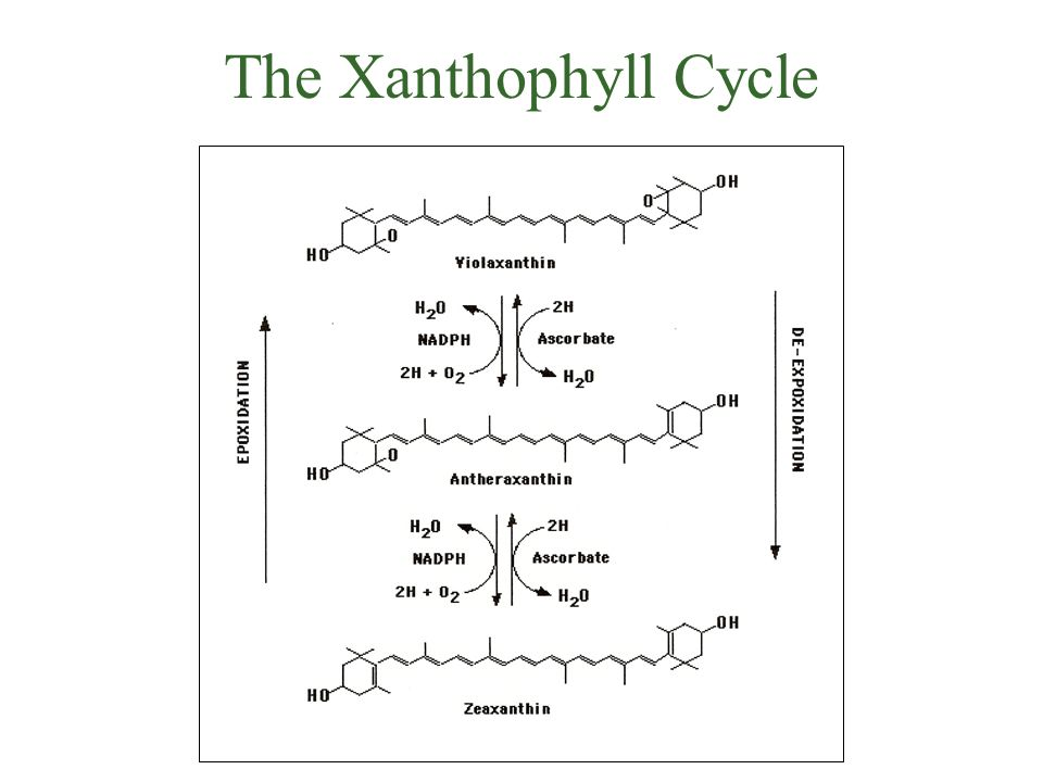 The Xanthophyll Cycle