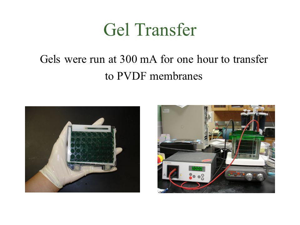 Gel Transfer Gels were run at 300 mA for one hour to transfer to PVDF membranes