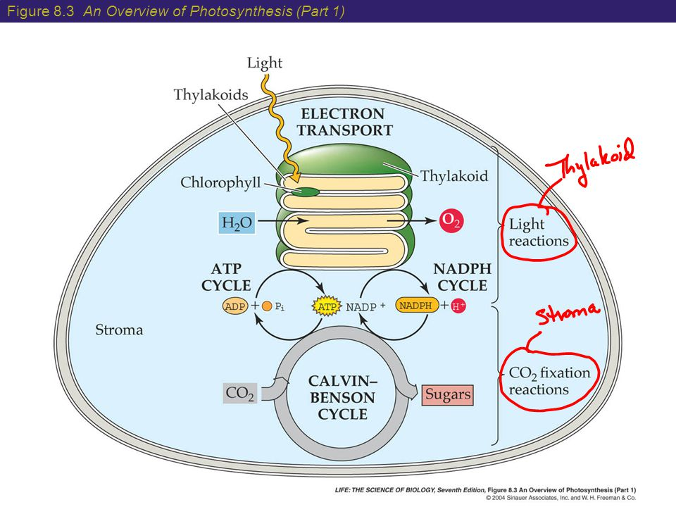 Figure 8.3 An Overview of Photosynthesis (Part 1)