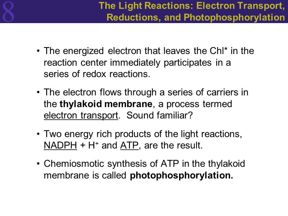8 The Light Reactions: Electron Transport, Reductions, and Photophosphorylation The energized electron that leaves the Chl* in the reaction center immediately participates in a series of redox reactions.