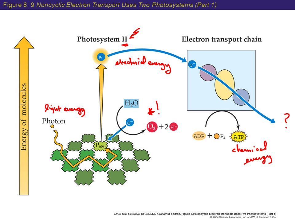 Figure 8. 9 Noncyclic Electron Transport Uses Two Photosystems (Part 1)