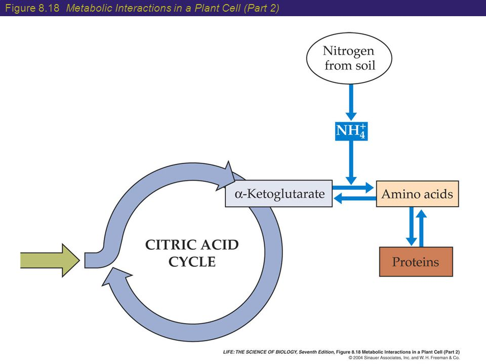 Figure 8.18 Metabolic Interactions in a Plant Cell (Part 2)