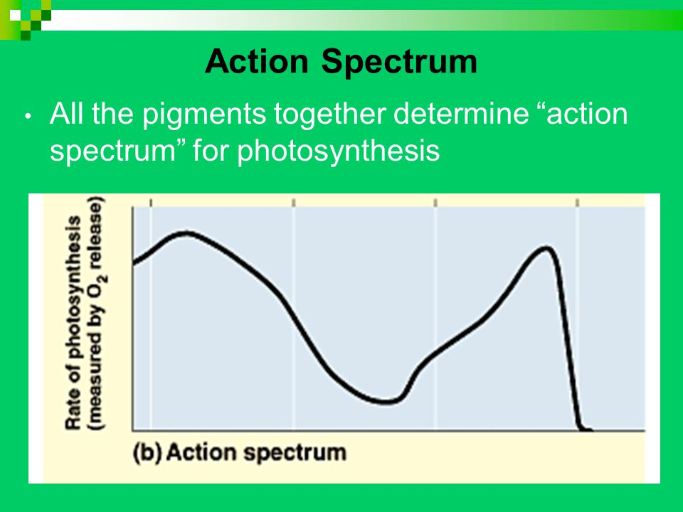 Action Spectrum All the pigments together determine action spectrum for photosynthesis
