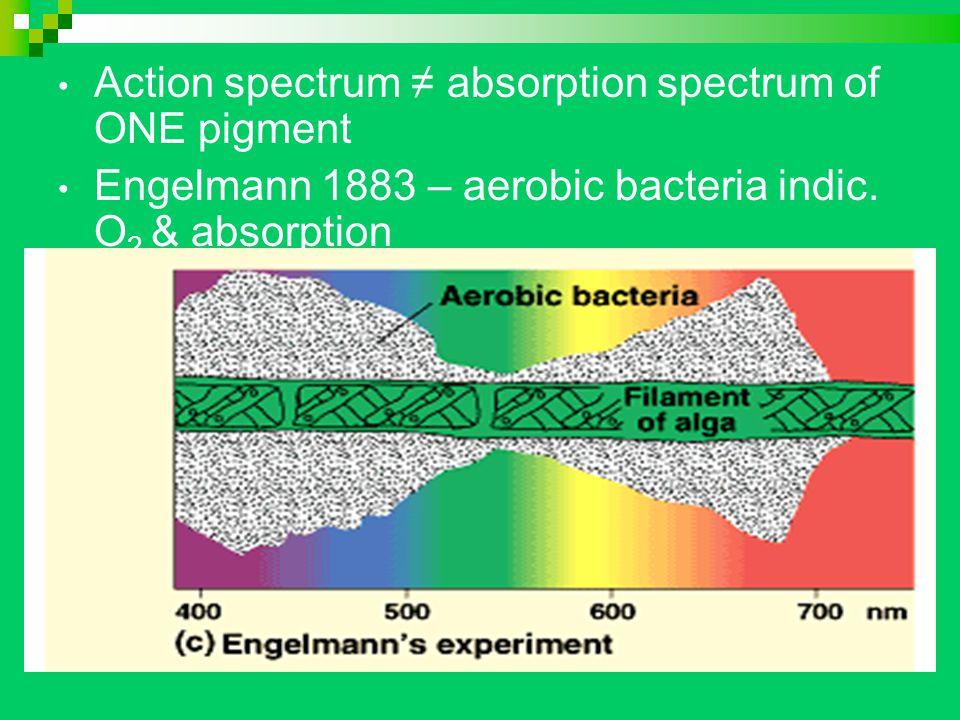 Action spectrum ≠ absorption spectrum of ONE pigment Engelmann 1883 – aerobic bacteria indic.