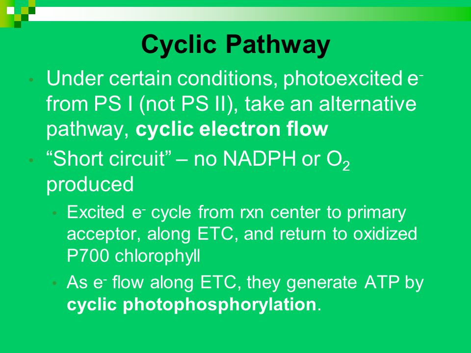 Cyclic Pathway Under certain conditions, photoexcited e - from PS I (not PS II), take an alternative pathway, cyclic electron flow Short circuit – no NADPH or O 2 produced Excited e - cycle from rxn center to primary acceptor, along ETC, and return to oxidized P700 chlorophyll As e - flow along ETC, they generate ATP by cyclic photophosphorylation.