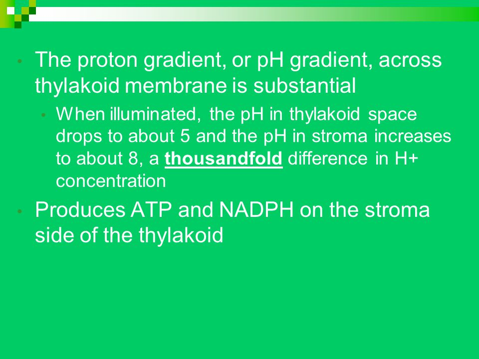 The proton gradient, or pH gradient, across thylakoid membrane is substantial When illuminated, the pH in thylakoid space drops to about 5 and the pH in stroma increases to about 8, a thousandfold difference in H+ concentration Produces ATP and NADPH on the stroma side of the thylakoid