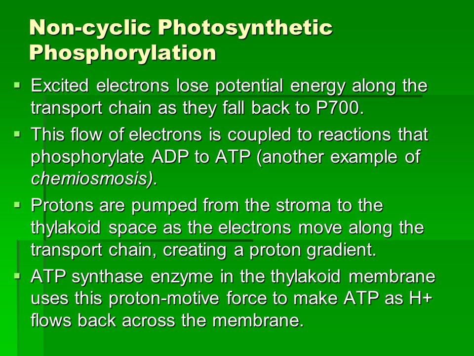 Non-cyclic Photosynthetic Phosphorylation  Excited electrons lose potential energy along the transport chain as they fall back to P700.  This flow o