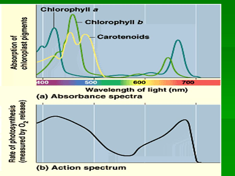 Photoexcitation of Pigments  When light is absorbed, electrons in the pigment molecule are boosted from its lowest-energy state (ground state) to a higher energy level (excited state).