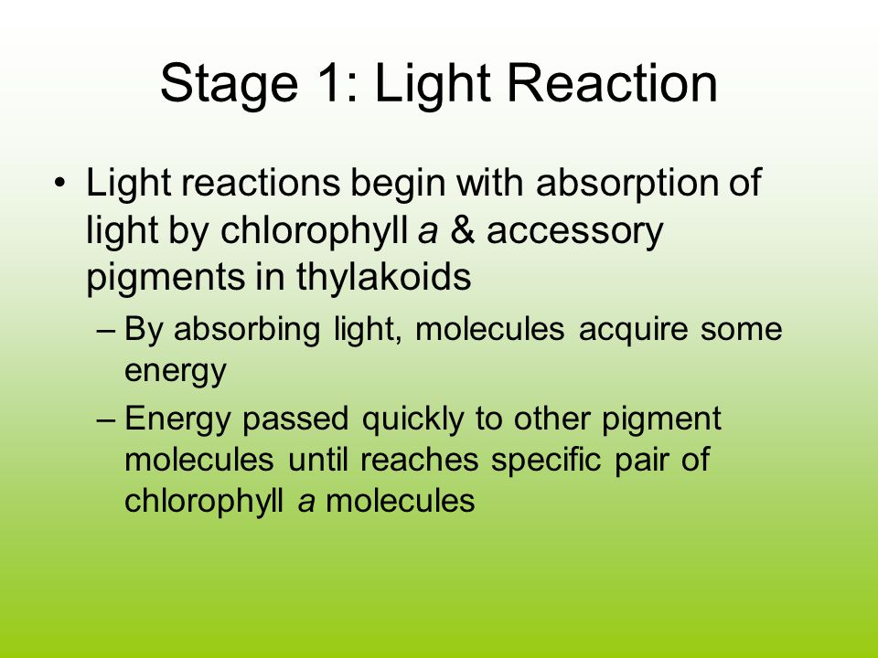 Stage 1: Light Reaction Light reactions begin with absorption of light by chlorophyll a & accessory pigments in thylakoids –By absorbing light, molecules acquire some energy –Energy passed quickly to other pigment molecules until reaches specific pair of chlorophyll a molecules