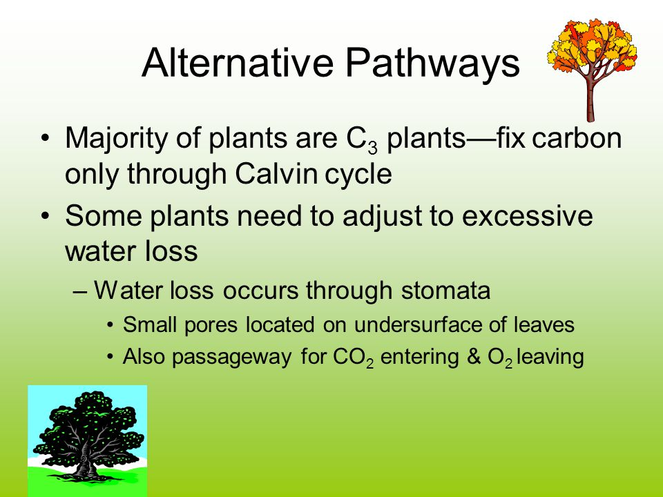 Alternative Pathways Majority of plants are C 3 plants—fix carbon only through Calvin cycle Some plants need to adjust to excessive water loss –Water loss occurs through stomata Small pores located on undersurface of leaves Also passageway for CO 2 entering & O 2 leaving