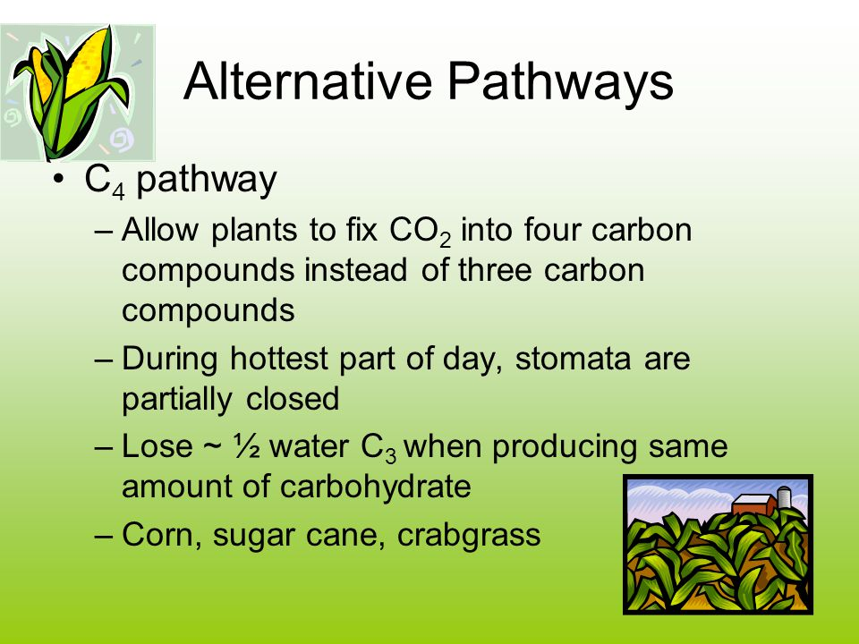 Alternative Pathways C 4 pathway –Allow plants to fix CO 2 into four carbon compounds instead of three carbon compounds –During hottest part of day, stomata are partially closed –Lose ~ ½ water C 3 when producing same amount of carbohydrate –Corn, sugar cane, crabgrass
