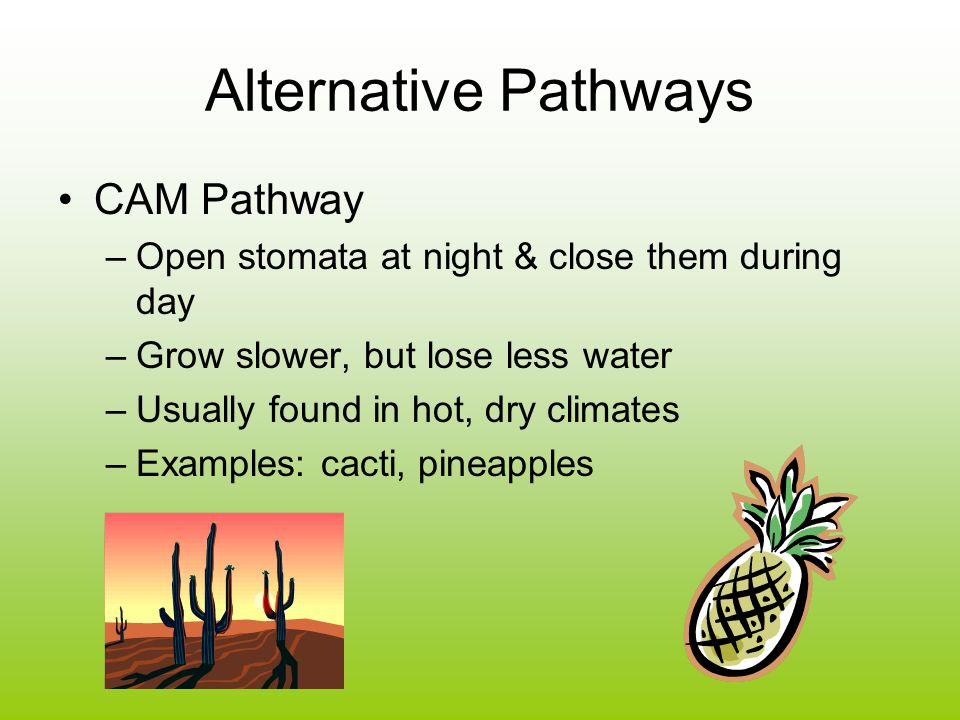 Alternative Pathways CAM Pathway –Open stomata at night & close them during day –Grow slower, but lose less water –Usually found in hot, dry climates –Examples: cacti, pineapples
