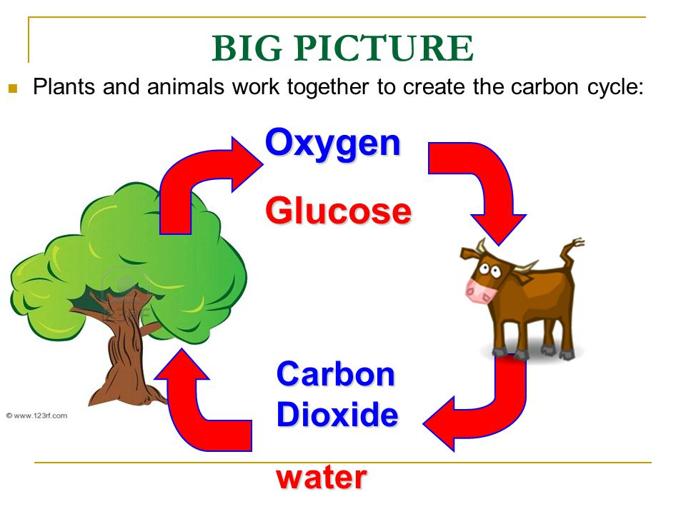 BIG PICTURE Plants and animals work together to create the carbon cycle:OxygenGlucose Carbon Dioxide water