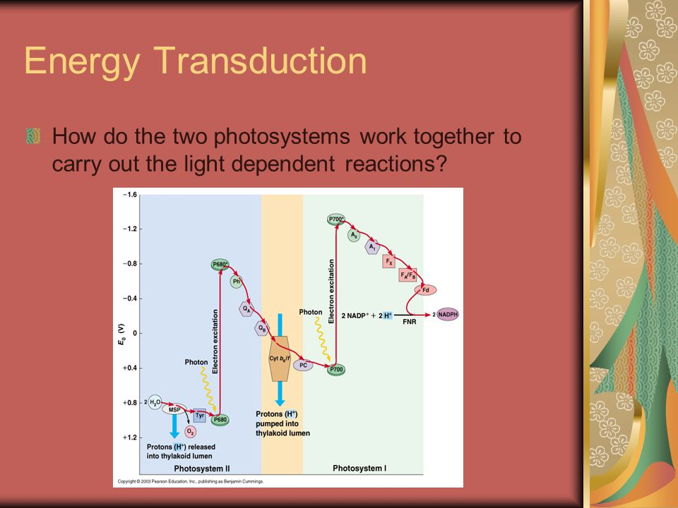 Energy Transduction How do the two photosystems work together to carry out the light dependent reactions