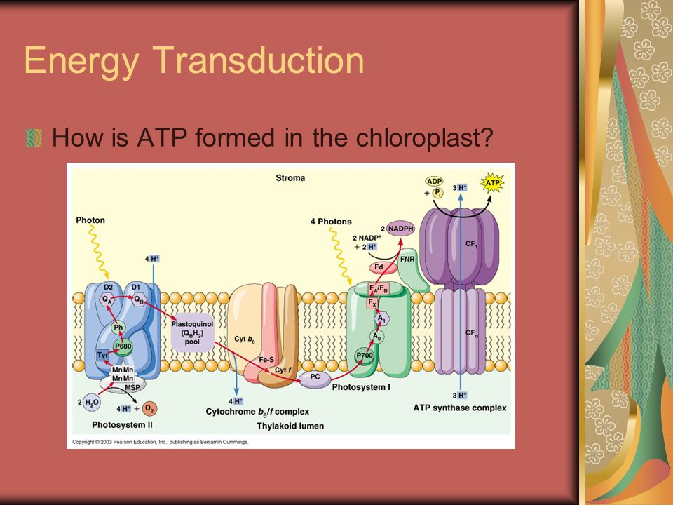 Energy Transduction How is ATP formed in the chloroplast