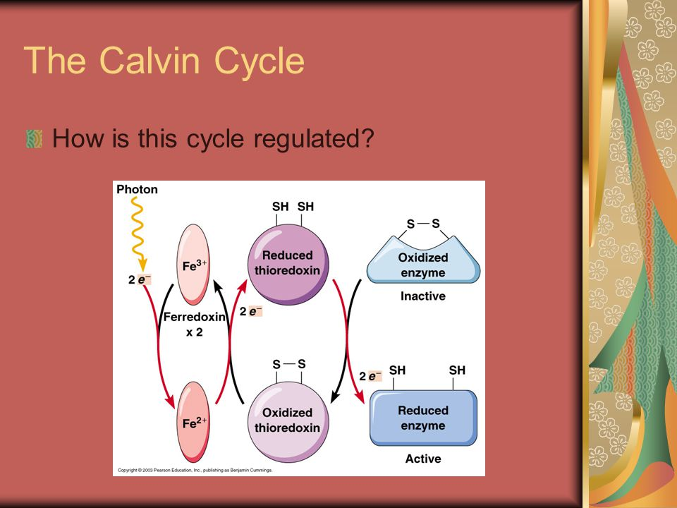 The Calvin Cycle How is this cycle regulated