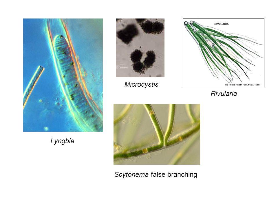 Lyngbia Microcystis Rivularia Scytonema false branching