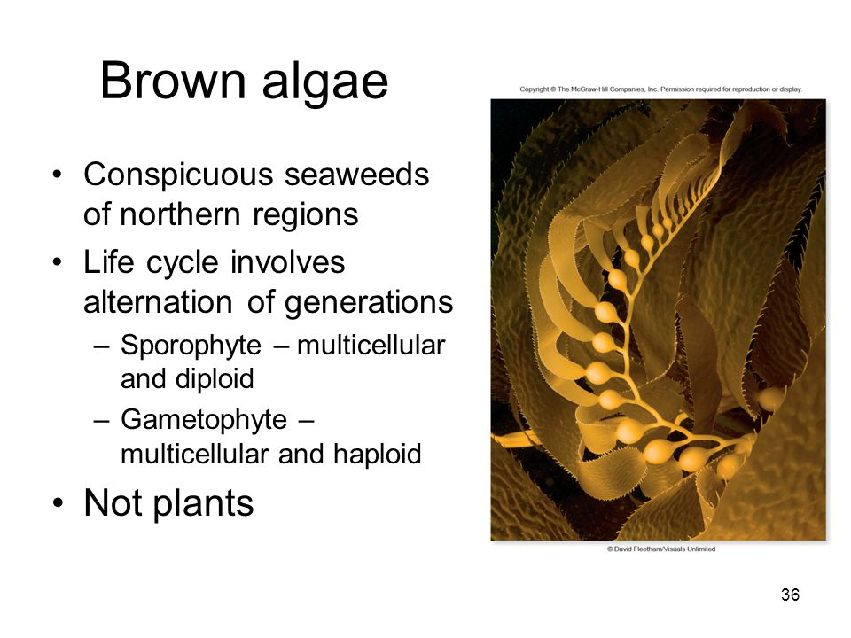 Brown algae Conspicuous seaweeds of northern regions Life cycle involves alternation of generations –Sporophyte – multicellular and diploid –Gametophy