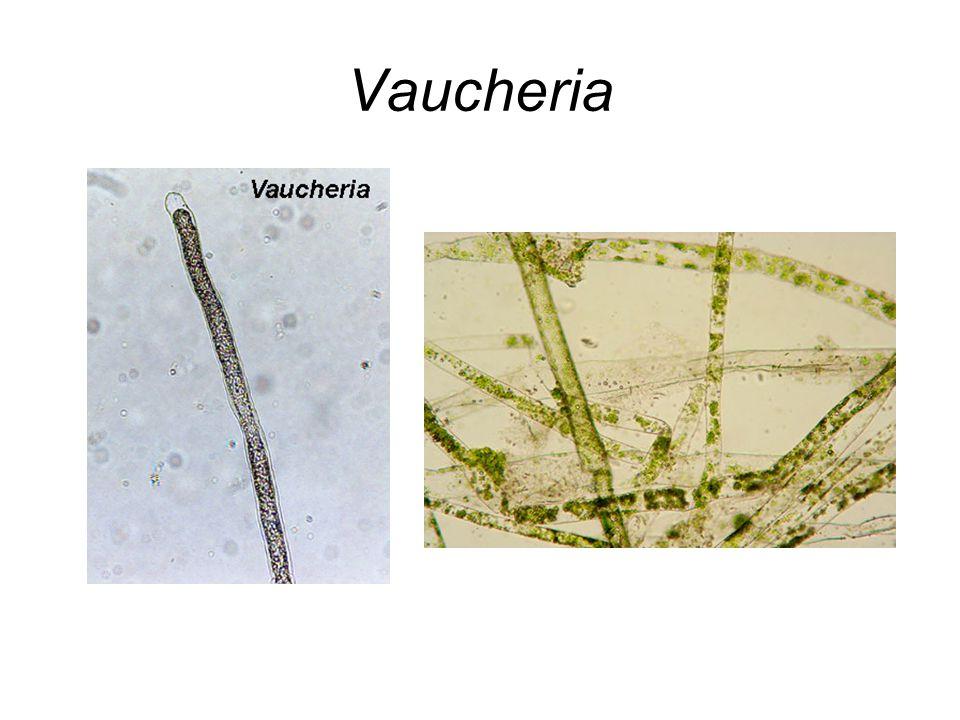 Vaucheria