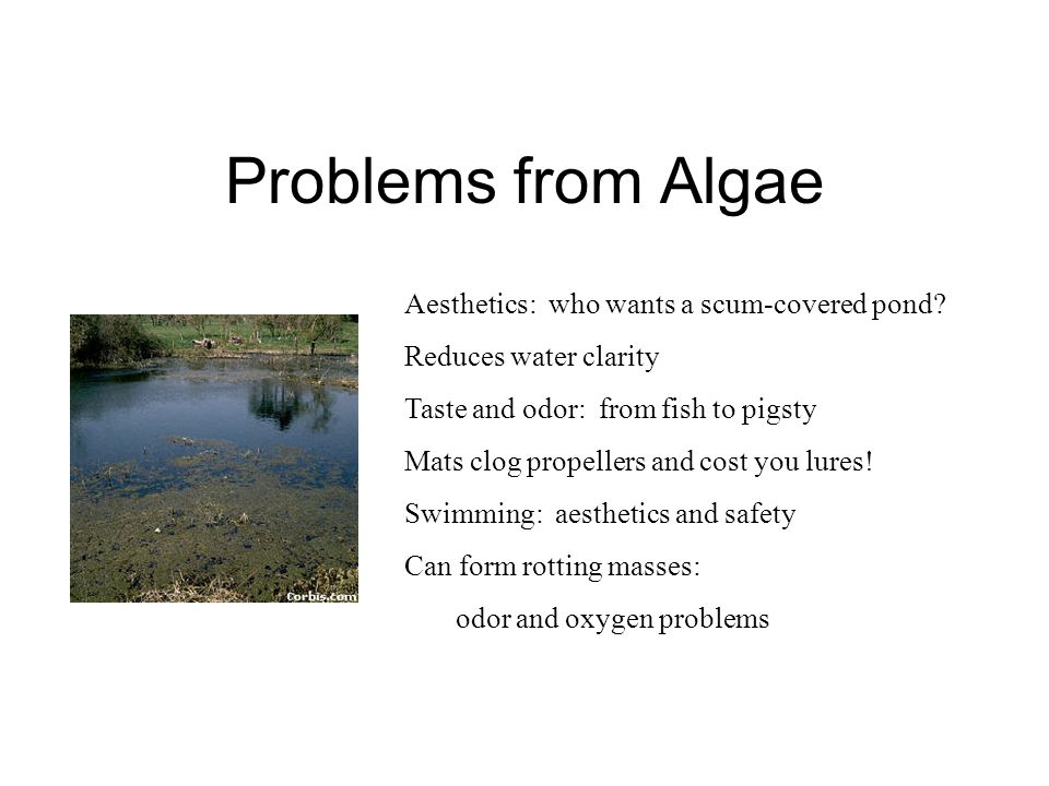 Problems from Algae Aesthetics: who wants a scum-covered pond? Reduces water clarity Taste and odor: from fish to pigsty Mats clog propellers and cost