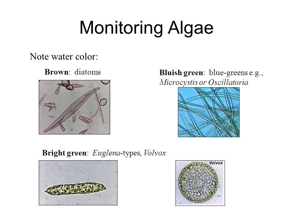 Monitoring Algae Note water color: Brown: diatoms Bright green: Euglena-types, Volvox Bluish green: blue-greens e.g., Microcystis or Oscillatoria