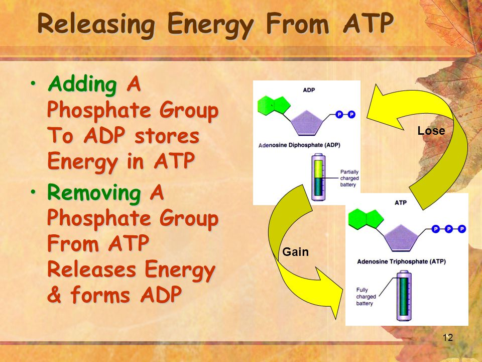12 Releasing Energy From ATP Adding A Phosphate Group To ADP stores Energy in ATPAdding A Phosphate Group To ADP stores Energy in ATP Removing A Phosphate Group From ATP Releases Energy & forms ADPRemoving A Phosphate Group From ATP Releases Energy & forms ADP Lose Gain