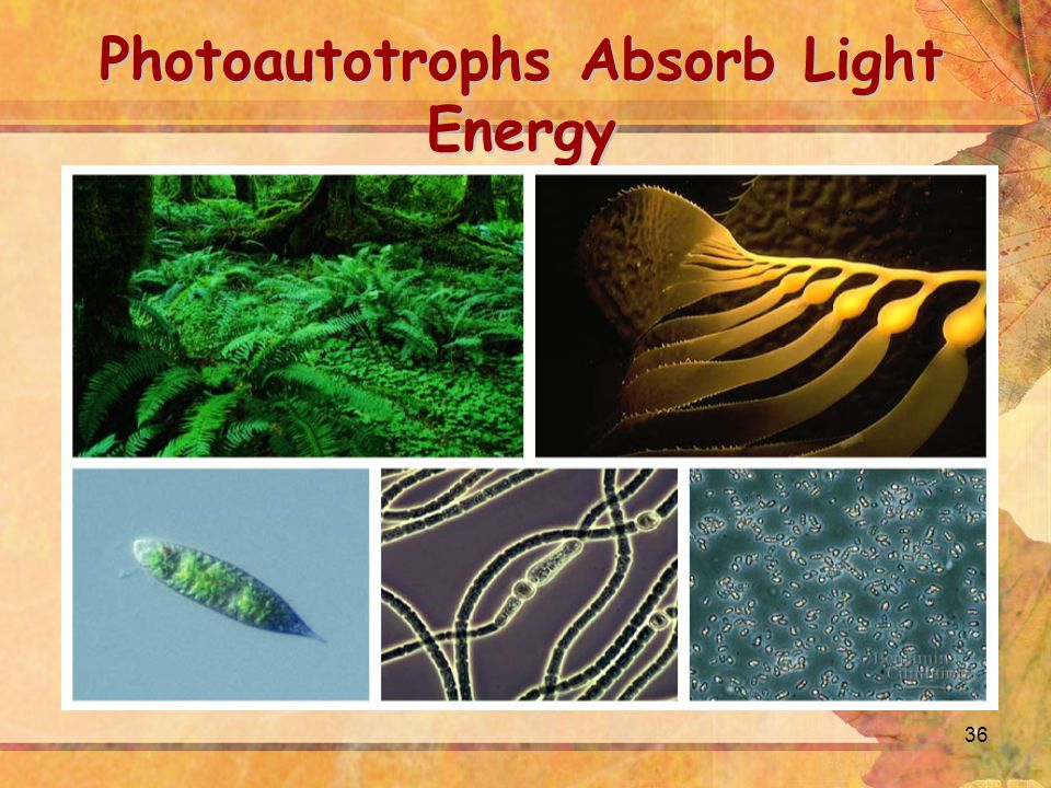 36 Photoautotrophs Absorb Light Energy