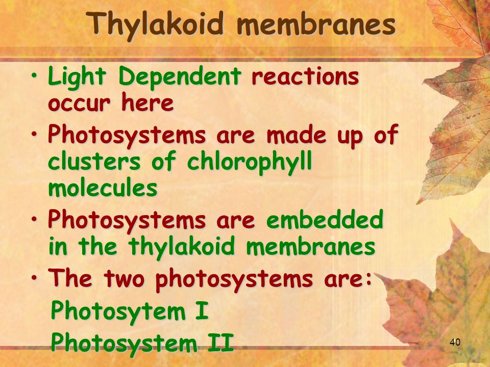 40 Thylakoid membranes Light Dependent reactions occur hereLight Dependent reactions occur here Photosystems are made up of clusters of chlorophyll moleculesPhotosystems are made up of clusters of chlorophyll molecules Photosystems are embedded in the thylakoid membranesPhotosystems are embedded in the thylakoid membranes The two photosystems are:The two photosystems are: Photosytem I Photosytem I Photosystem II Photosystem II