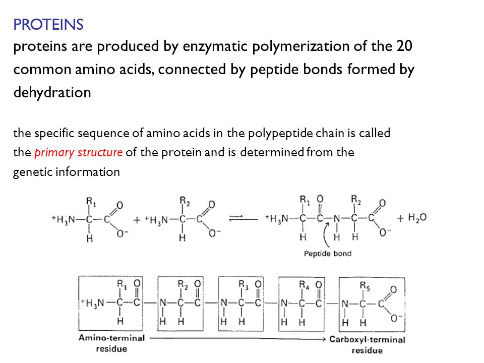 PROTEINS proteins are produced by enzymatic polymerization of the 20 common amino acids, connected by peptide bonds formed by dehydration the specific sequence of amino acids in the polypeptide chain is called the primary structure of the protein and is determined from the genetic information