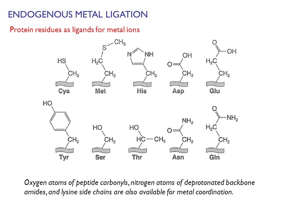 ENDOGENOUS METAL LIGATION Oxygen atoms of peptide carbonyls, nitrogen atoms of deprotonated backbone amides, and lysine side chains are also available